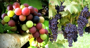 grapes-combo